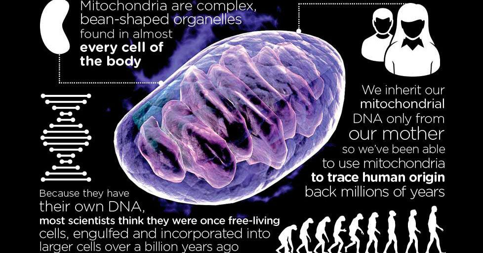 Mitochondria Infographic